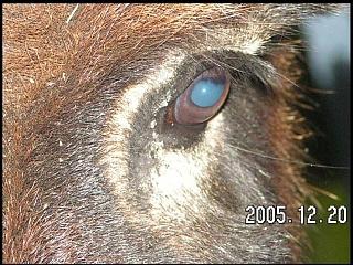 Asilo akis